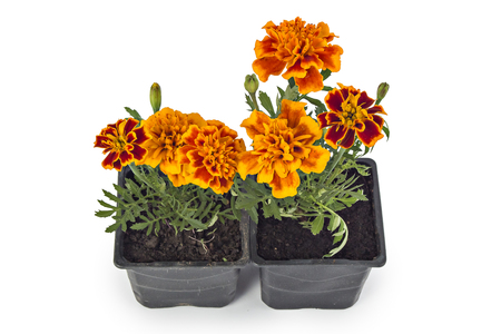 patula: French marigold, Tagetes Patula, with leaves isolated on white Stock Photo