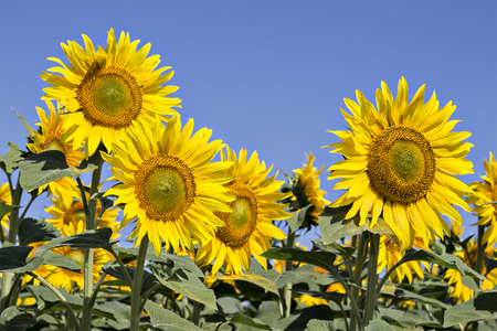energize: Sunflowers field under the summer blue sky and bright sun lights