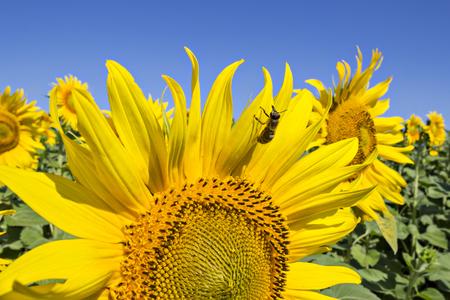 girasol: Una abeja en el girasol en el campo de girasoles bajo el cielo azul de verano y las luces brillantes del sol