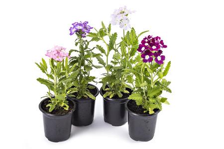 버베나 꽃, Verbena hybrida, 흰색으로 격리
