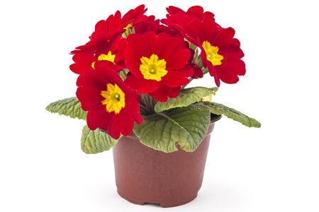 polyanthus: Red spring primroses flowers, primula polyanthus in a flowerpot isolated on white background Stock Photo