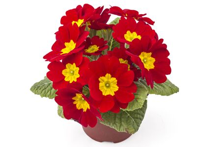 Red spring primroses flowers, primula polyanthus in a flowerpot isolated on white background Stock Photo