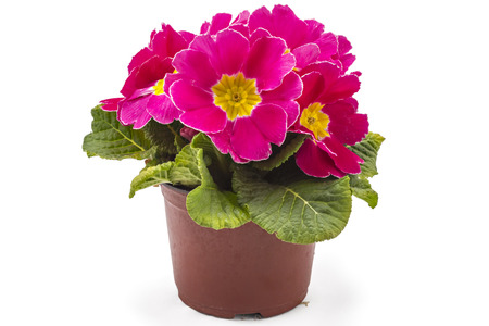 polyanthus: Pink spring primroses flowers, primula polyanthus in a flowerpot isolated on white background