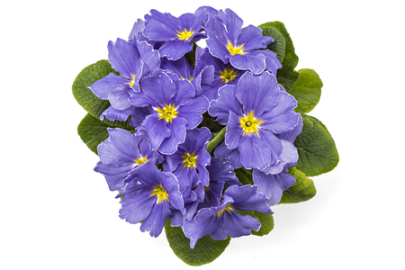polyanthus: Violet spring primroses flowers, primula polyanthus in a flowerpot isolated on white background Stock Photo