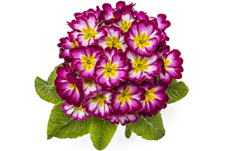 polyanthus: Red, white and yellow spring primroses flowers, primula polyanthus in a flowerpot isolated on white background