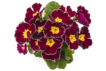 polyanthus: Dark red and yellow spring primroses flowers, primula polyanthus in a flowerpot isolated on white background