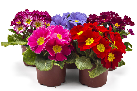 Spring primroses flowers, primula polyanthus in a flowerpot isolated on white background