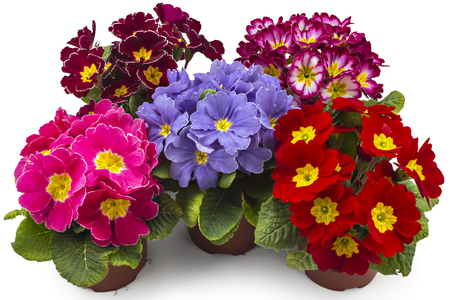 polyanthus: Spring primroses flowers, primula polyanthus in a flowerpot isolated on white background