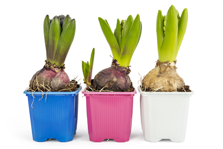 Young blue, pink and white Hyacinth flower seedlings with tuber, Hyacinthus orientalis in flower pot isolated on white backround Stock Photo