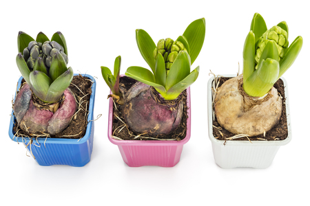 Young blue, pink and white Hyacinth flower seedlings with tuber, Hyacinthus orientalis in flower pot isolated on white backround Stok Fotoğraf