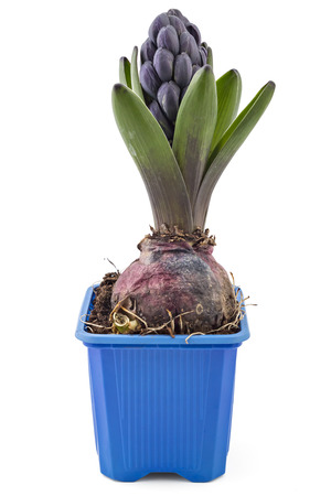 Young blue Hyacinth flower seedlings with tuber, Hyacinthus orientalis in flower pot isolated on white backround