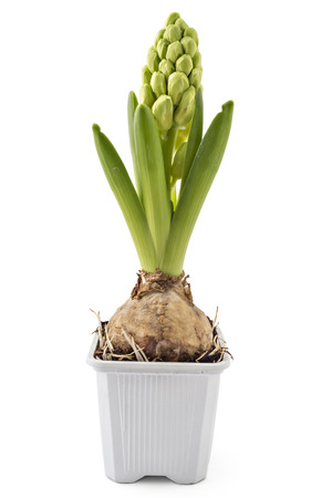 Young white Hyacinth flower seedlings with tuber, Hyacinthus orientalis in flower pot isolated on white backround Stock Photo
