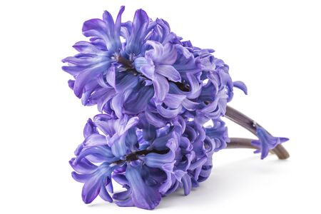 Blue Hyacinth flower bouquet, Hyacinthus orientalis isolated on white backround