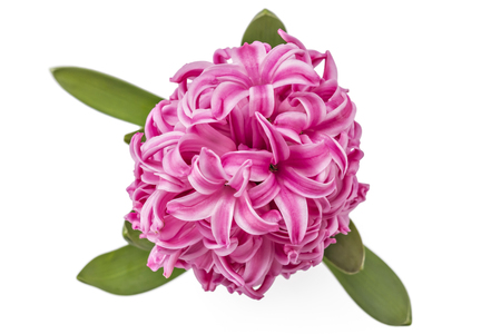Pink Hyacinth flower seedlings with tuber, Hyacinthus orientalis in flower pot isolated on white backround