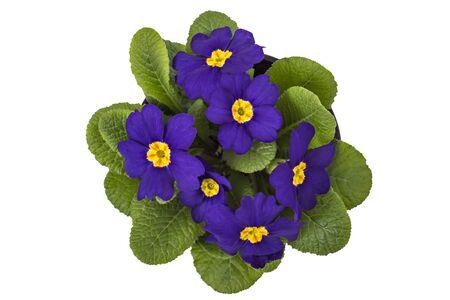 polyanthus: Purple primrose flowers - primula polyanthus, isolated on white