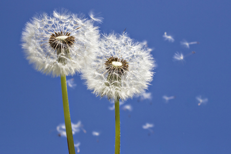 Close up of grown dandelions and dandelion seeds in the sunlight, in the wind across a clear blue sky