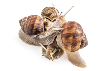 Four garden snails (Helix aspersa) isolated on white background. Teamwork concept Stock Photo