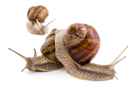 Three garden snails (Helix aspersa) isolated on white background. Teamwork concept Stock Photo - 75181399