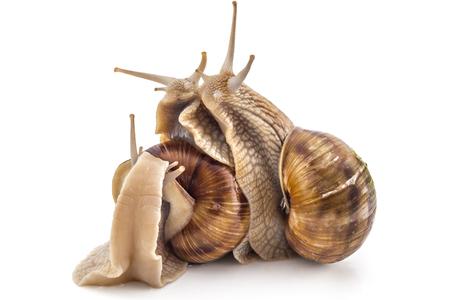 Three garden snails (Helix aspersa) isolated on white background. Teamwork concept