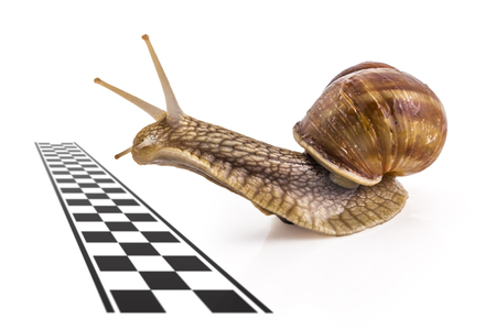 Garden snail (Helix aspersa) approaching the finish line on white background. Teamwork concept, competition.