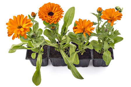 pot marigold: Four marigold flowers, Calendula Officinalis, with leaves in flowerpot isolated on white
