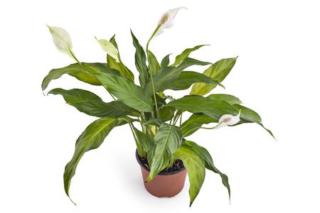Pianta di Spathiphyllum con i fiori in vaso di fiore, isolato su fondo bianco. Comunemente noto come Spath o gigli di pace.