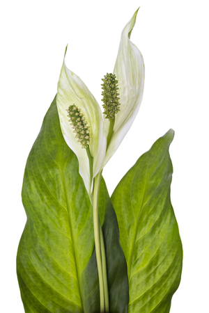 Two Spathiphyllum flower with leaves, isolated on white background. Commonly known as Spath or peace lilies.