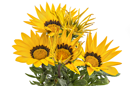 Bunch of yellow gerbera flowers, Gerbera Jamesonii, on white background