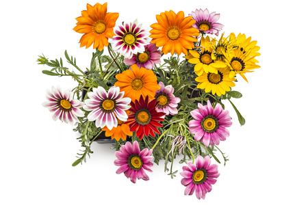 Colourful bouquet of gerbera flowers, Gerbera Jamesonii, in flower pot on white background