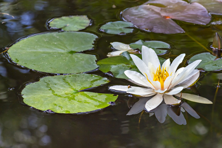 Water lily flower, Nymphaea alba, and leaves in a pond, with reflection in water