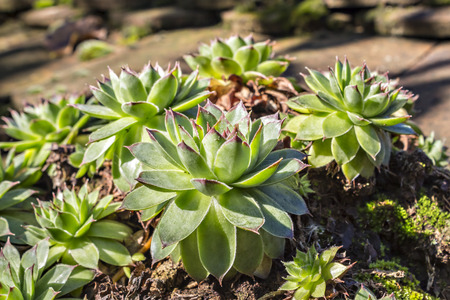 sharply: Sempervivum tectorum, Houseleek. Plant on the roof on natural light