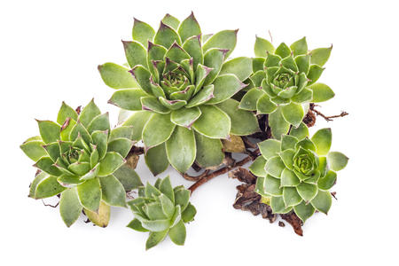 sharply: Sempervivum tectorum, Houseleek. Plant on the white background