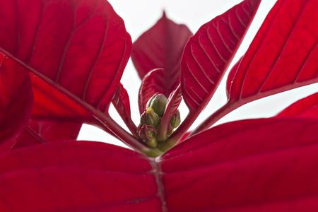 Poinsettia flower closeup. Red christmas flower on white background Stock Photo