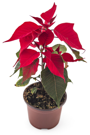 Poinsettia flower in flowerpot. Red christmas flower on white background Reklamní fotografie