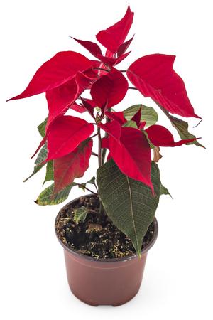 Poinsettia flower in flowerpot. Red christmas flower on white background 版權商用圖片