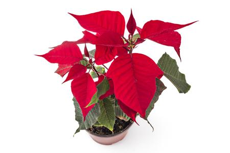 christmas grounds: Poinsettia flower in flowerpot. Red christmas flower on white background Stock Photo