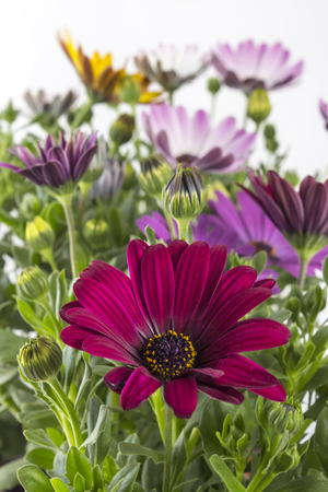osteospermum: Closeup of colorful young garden African Daisy flowers with leaves, Osteospermum Symphony, in flowerpot on white background