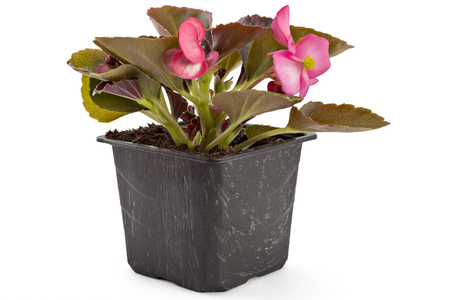 fibrous: Pink young garden wax begonia flowers with leaves, Begonia semperflorens-cultorum, in flowerpot on white background
