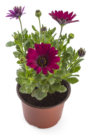 osteospermum: Red young garden African Daisy flowers with leaves, Osteospermum Symphony, in flowerpot on white background