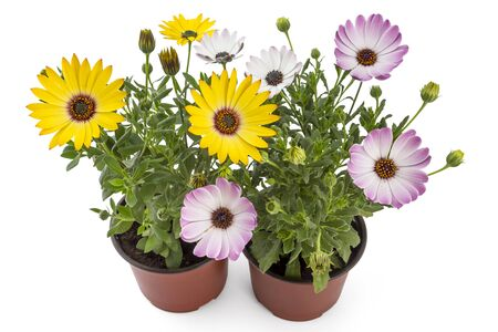 osteospermum: Orange and light pink young garden African Daisy flowers with leaves, Osteospermum Symphony, in flowerpot on white background