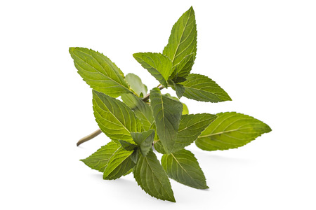Fresh young spearmint closeup isolated on white background. Mentha spicata. Spearmint green leafs, healthy aroma