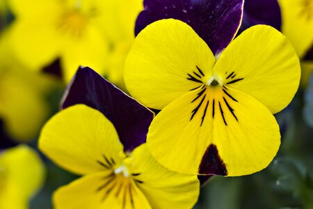 Yellow and violet blue pansy seedlings in the garden, close up
