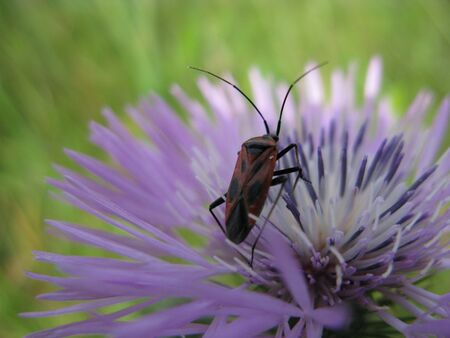 Insect on teazle flower photo