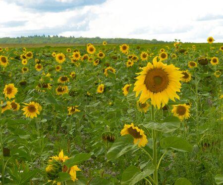 living idyll: Sun flower field