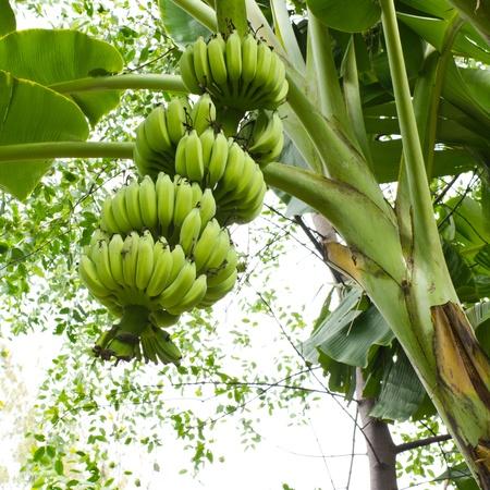 platano maduro: �rbol de banano con un racimo de pl�tanos Foto de archivo