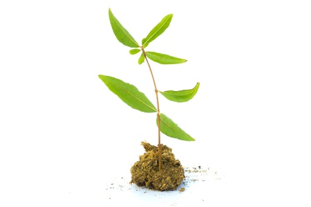 green plant in soil on white background Stock Photo