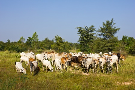 cows in a farmland photo