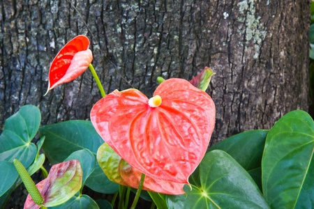 Flamingo flor, Anthurium andraeanum photo