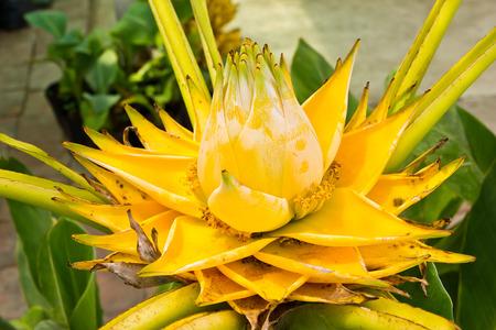 Banana yellow flowers photo