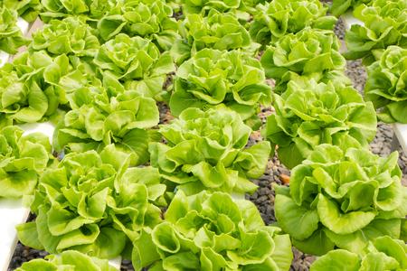 fresh green Butter head Lettuce photo